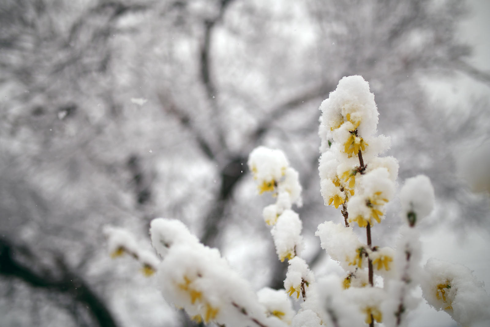 Snow-&-Forsythia_1600px.jpg