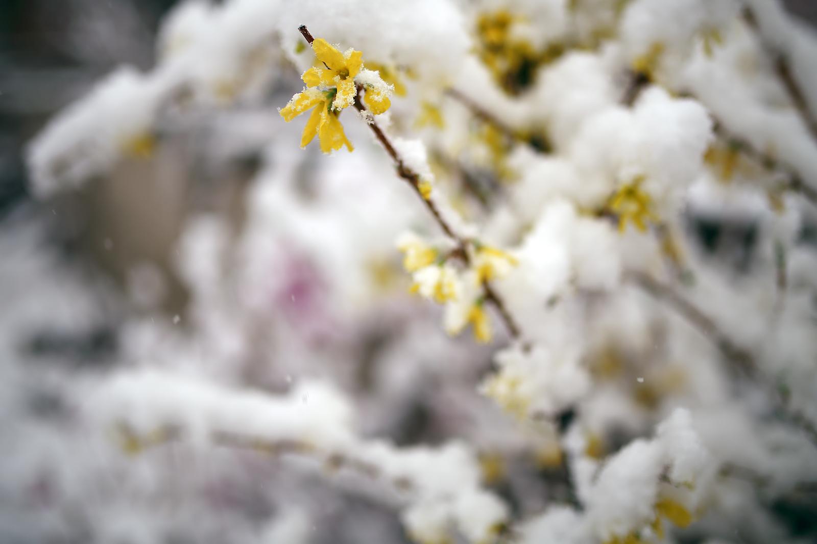 Snow & Forsythia3_1600px.jpg