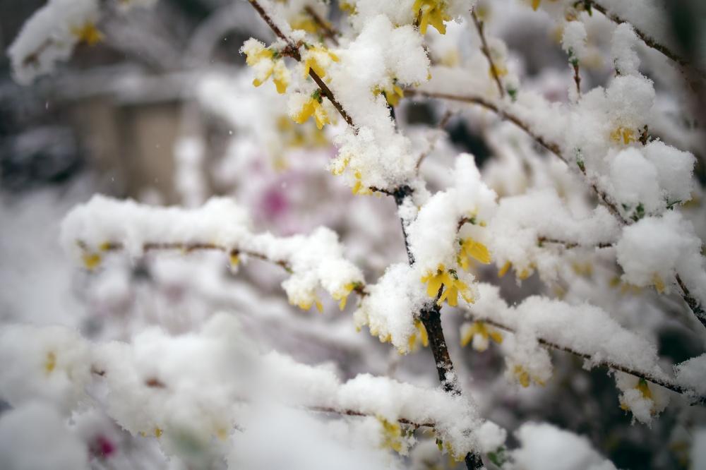 Snow-&-Forsythia2_1600px.jpg
