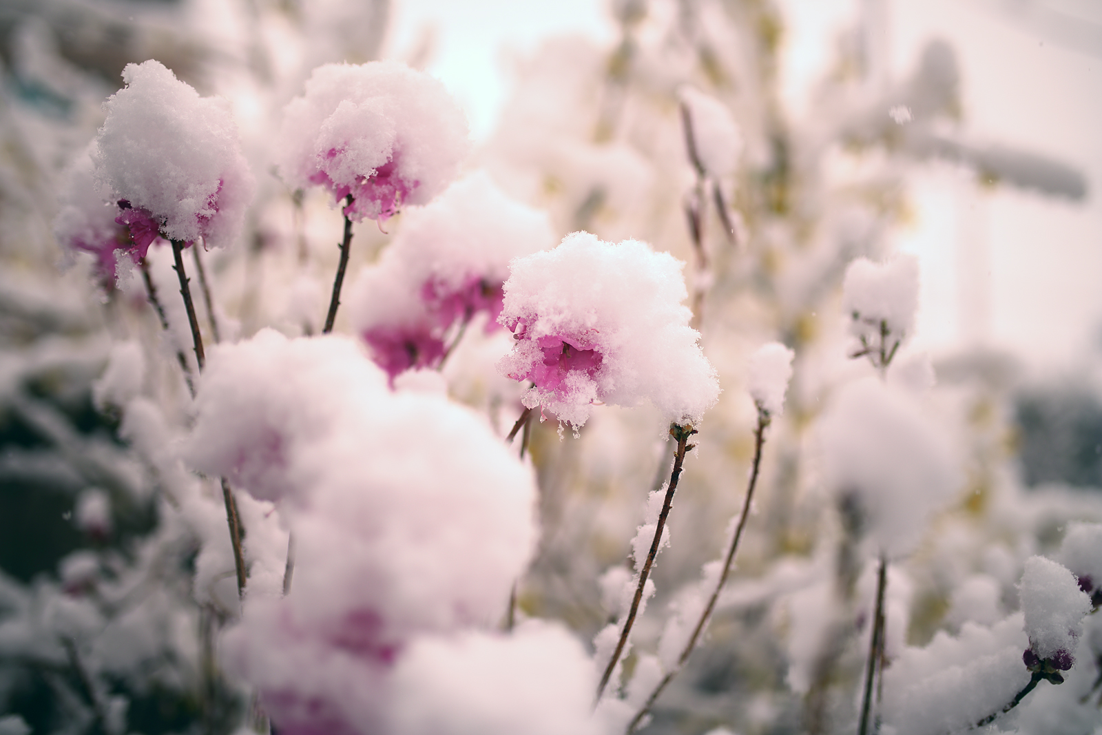 Snow-&-Azalea3_1600px.jpg